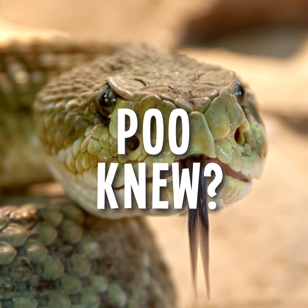 Things to do in Richmond Tasmania | Pooseum Once a Year Poo Rattlesnake